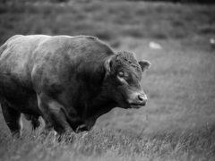 bull-1114267_640.jpg